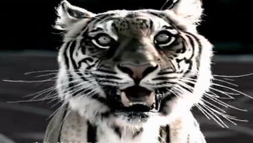 maurice greene:老虎