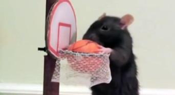 宠物老鼠训练有素惹人醉 你知道你快成精了吗