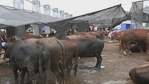 """来历不明""""缅甸牛"""":商户不能提供检疫证明"""